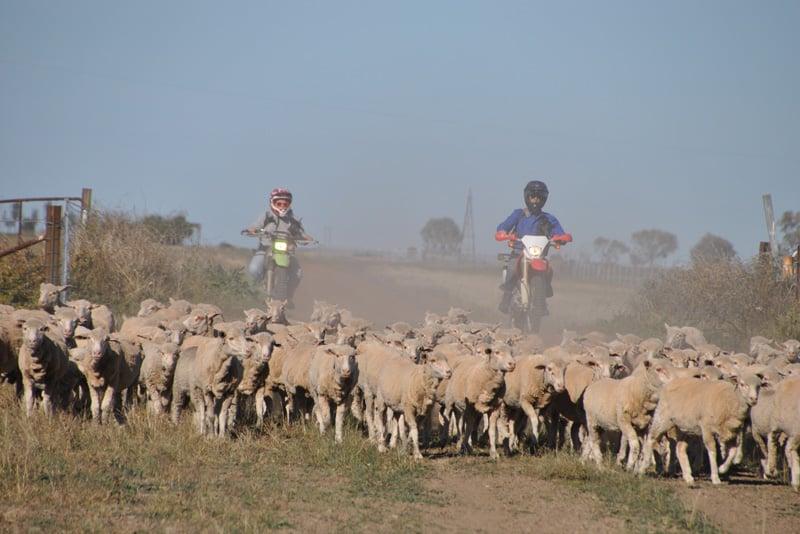 Corynnia-Station-Sheep-Bikes